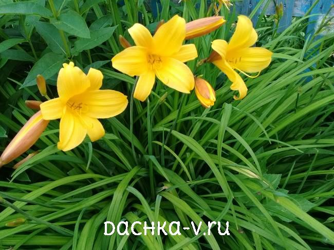 Ранний сорт лилейника цветет