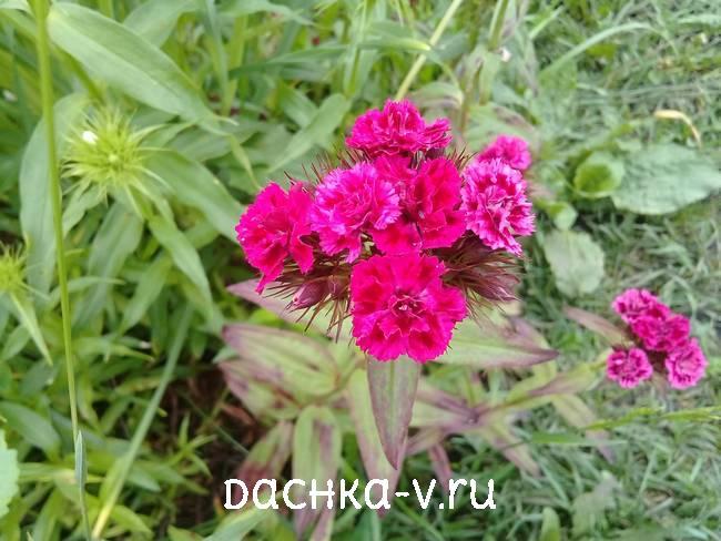 Турецкая гвоздика розовая махроваяцветет