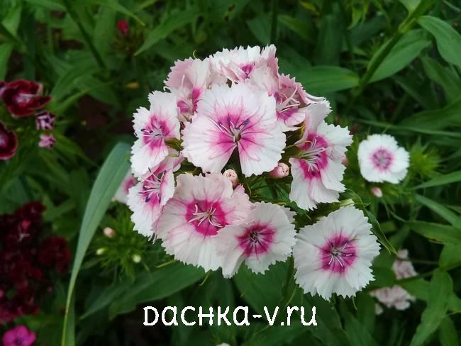 Турецкая гвоздика белая с розовой сердцевинойцветет