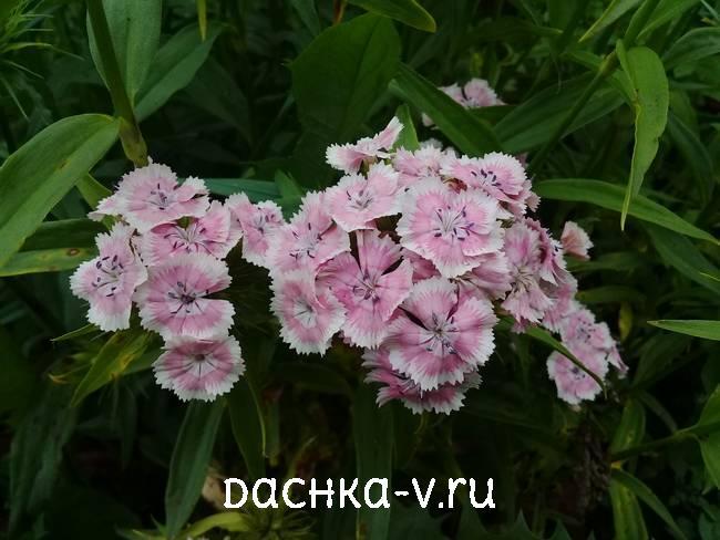 Турецкая гвоздика розовая с белымцветет