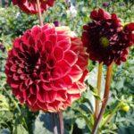 1 Георгина Несцио цветет на клумбе