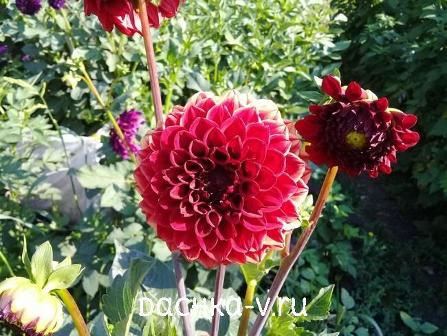 2 Георгина Несцио цветет на клумбе