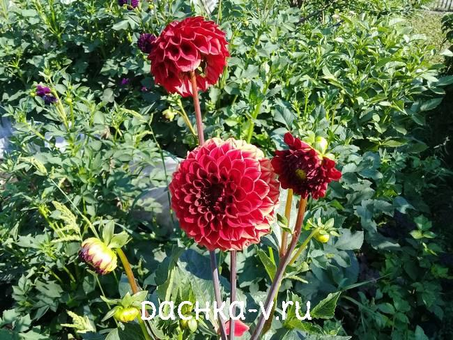3 Георгина Несцио цветет на клумбе