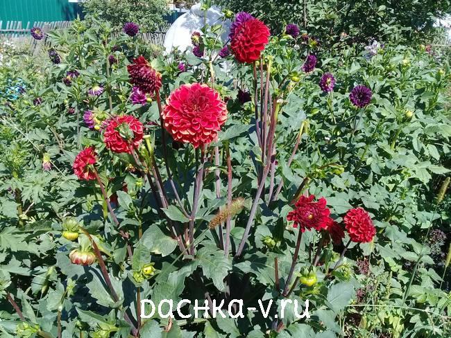4 Георгина Несцио цветет на клумбе